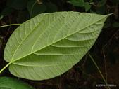 植物:蘭嶼落葉榕Ficus ruficaulis var. antaoensis