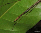直翅目 與  竹節蟲目:台灣半板竹節蟲  Hemiplasta sp. 雄