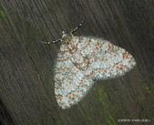 鱗翅目~~ 蛾類:美洱尺蛾Trichopterigia sanguinipunctata