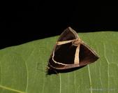 鱗翅目~~ 蛾類:白帶符夜蛾  Fodina contigua Wileman 1914.
