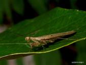 蜻蛉目 與 螳螂目:名和異跳螳 Amantis nawai (Shiraki , 1908).雄長翅型