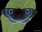 鱗翅目~~ 蛾類:玉邊目夜蛾Erebus albicincta obscurata (Wileman, 1923)