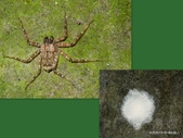 蛛形綱:台灣巴告蛛 Pakawops formosanus (Kayashima, 1943)