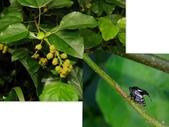 昆蟲 vs 植物:刺沫蟬 Machaerotidae sp