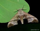 鱗翅目~~ 蛾類:三線天蛾  Polyptychus chinensis Rothschild & Jordan,1903.