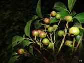植物:Prunus phaeosticta (Hance) Maxim., 1883 黑星櫻(墨點櫻桃) Rosaceae 薔薇科 Prunus 梅屬