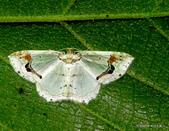 鱗翅目~~ 蛾類:煙斗紋波尺蛾Asthena undulata (Wileman, 1915)