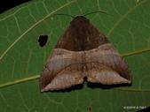 鱗翅目~~ 蛾類:寬朽葉夜蛾 Bastilla fulvotaenia (Guenée, 1852)