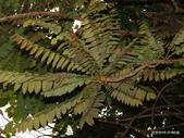 植物:木胡瓜.(酸楊桃)Averrhoa bilimbi L