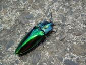 鞘翅目~~叩頭蟲 與吉丁蟲總科:ZYNmkn67l6xIz_BG__SQlw.jpg
