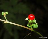 植物:紅果深柱夢草 Nertera granadense