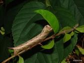 鱗翅目~~ 蛾類:半黑斜線天蛾 Hippotion velox (Fabricius, 1793)