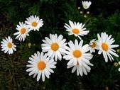 繁花競艷...2:白晶菊