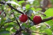 西印度櫻桃:DSC_0487