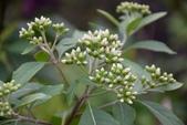 菊科植物:桃葉斑鳩菊 (南非葉)