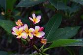夾竹桃科植物  :緬梔 (雞蛋花)