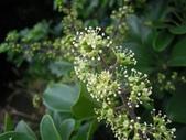 五加科植物:鵝掌藤 (鵝掌蘗)