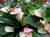 天南星科植物:火鶴花