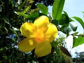 夾竹桃科植物  :軟枝黃蟬