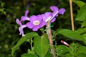 紫葳科植物:蒜香藤