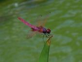蜻蛉目:紫紅蜻蜓