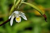 蘭科植物:蘭嶼白及