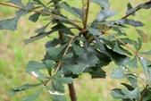 山龍眼科植物:斑克木
