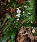 蘭科植物:闊葉根節蘭