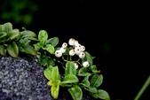 茜草科植物:拎壁龍 (風不動藤 )
