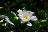 茜草科植物:重瓣黃梔