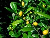 柿樹科植物:象牙木