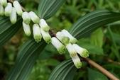 天門冬科植物:萎蕤