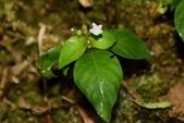 茜草科植物:白花蛇根草