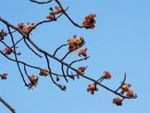 捷運線形公園上的風景:木棉花