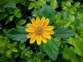 繁花競艷...2:南美蟛蜞菊