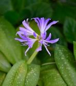 石蒜科植物:斑葉藍晶花