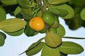 藤黃科植物:福木