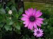 繁花競艷...2:藍眼菊