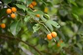 桑科植物:黃果垂榕
