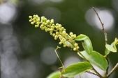 鼠李科植物:台灣黃鱔藤