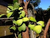 夾竹桃科植物  :心葉毬蘭