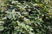 夾竹桃科植物  :酸藤