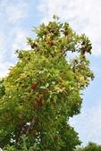 桃金孃科植物:台灣棒花蒲桃