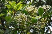 夾竹桃科植物  :大錦蘭