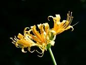 石蒜科植物:金花石蒜