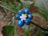 茜草科植物:琉球雞屎樹