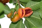 夾竹桃科植物  :蘭嶼馬蹄花