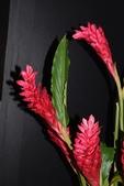 薑科植物...2:DSC_0533