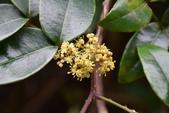 芸香科植物:雙面刺