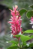 爵床科植物 :赤苞花